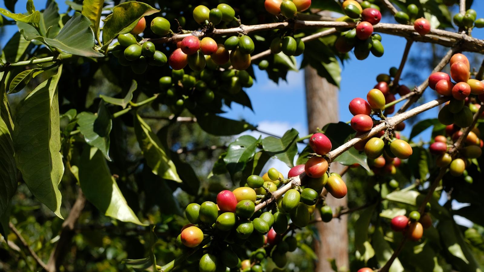 Kenyan coffee plant